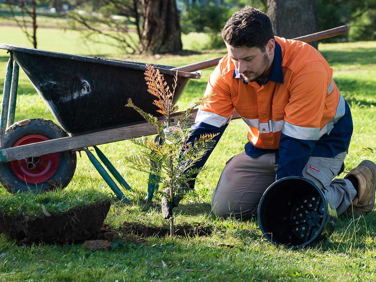 A person planting a Grevillea with a wheelbarrow behind them.